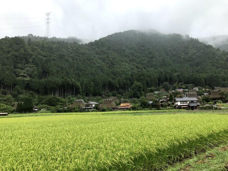 収穫前の稲とかやぶきの里